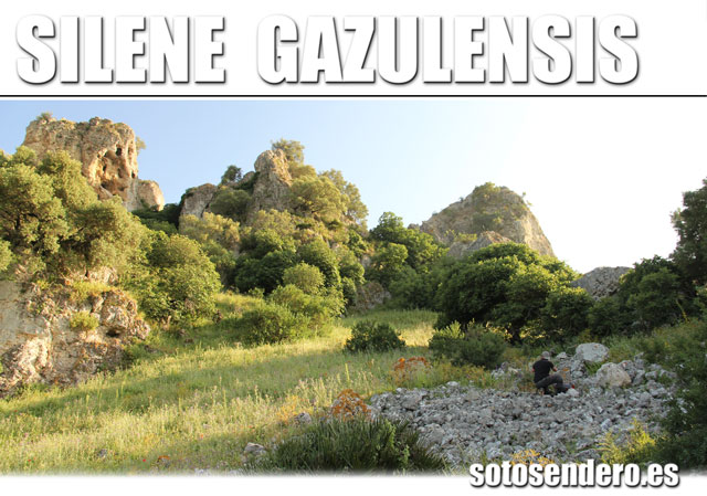 silenegazulensis01